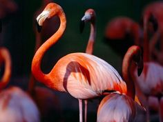 [][][] Subclass Neoaves. Order Phoenicopteriformes (Flamingos. From the greek 'phoinix'=crimson, and 'pteron'=wing). Long-legged, generally pink birds, with long necks and down-turned bills. Tropical birds that feed in shallow water on invertebrates. They develop their pink colour by sequestering the pigments from crustacean prey. The Greater Flamingo, pictured here, is the only species occuring naturally in the United States.