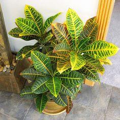 Codiaeum - plantas de follaje coloreado.