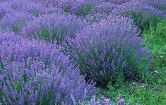 Lavendler - sådan planter og plejer du dig til flotte lavend Lavender Fields, Lavender Flowers, Outdoor Plants, Dream Garden, Garden Inspiration, Gardening Tips, Beautiful Flowers, Garden Design, Sequim Washington