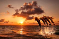 Beautiful Sunset with Dolphins Jumping Out of the Water Photography by Eazl, Size: 24 x Orange Orcas, Big Canvas, Canvas Wall Art, What Do Guys Like, Wall Art Prints, Canvas Prints, Framed Prints, Water Walls, Delphine