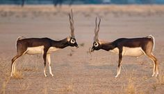 Two blackbucks (Antilope cervicapra) engage in a territorial fight at the Tal Chhapar Sanctuary in Rajasthan, IndiaPhotograph: Arkaprava Ghosh/Barcroft India