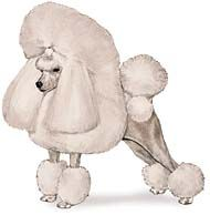 The Poodle can accommodate nearly any size living quarters. His hypoallergenic coat may reduce allergic reactions, but requires regular professional grooming.