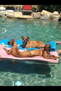 Boxers enjoying the good life