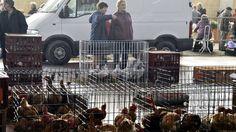 #Grippe aviaire: fin du confinement des volailles chez les professionnels aussi - RTBF: RTBF Grippe aviaire: fin du confinement des…