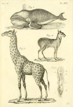 1819 - Elementi di zoologia by Ranzani, Camillo, 1775-1841