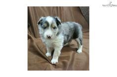 Meet Mackenzie a cute Shetland Sheepdog - Sheltie puppy for sale for $700. Mackenzie, a blue merle female