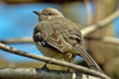 Moqueur Polyglotte // Spottdrossel // Northern Mockingbird (Mimus Polyglottos) #aves #birds #oiseaux #mimidae