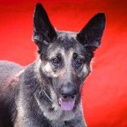 http://www.examiner.com/article/surrendered-dog-owners-claim-it-costs-too-much-to-care-for-german-shepherd  A lovely, well  mannered dog.