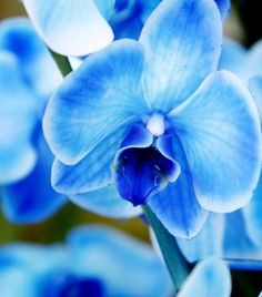 Beautiful blue phaleonopsis orchid