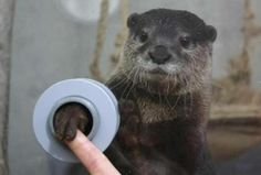 FYI, there is an aquarium where you can shake hands with otters.