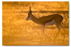 Kgalagadi part Kalahari wildlife Majestic Animals, Kangaroo, Wildlife, Photography, Inspiration, Baby Bjorn, Biblical Inspiration, Photograph, Fotografie