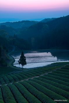 Tea gardens in the twilight, Japan