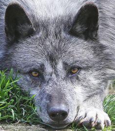 Eastern Wolf - Parc Animalier de Sainte-Croix by reineckefoto on Flickr.