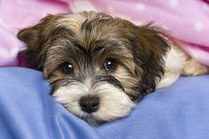 Sweet Havanese puppy