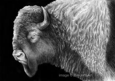 Buffalo Ink Drawing Artist Tim Jeffs Animal Art drawings