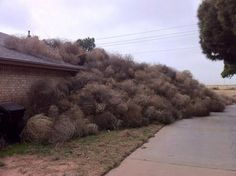 Tumbleweed pileup in New Mexico. I miss seeing tumbleweeds! And occasionally having to stop and drag them out of the way of the car. Midland Texas, Lubbock Texas, Odessa Texas, Melbourne, Texas Weather, Only In Texas, Dust Storm, Texas History, West Texas