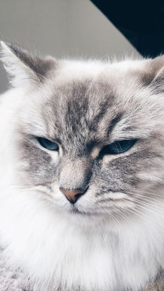 Cat blue eyes