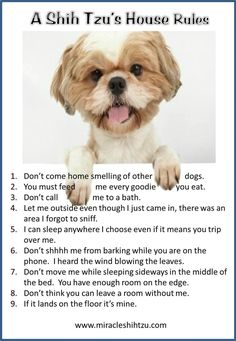 This is my dog to a tee!!  Shih Tzu.