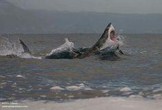 Big guy - white shark