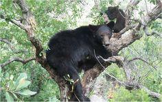 Nutrición del oso negro