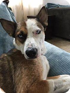 Husky/Shepherd (Unknown Type) Mix Dog for adoption in New York, New York - Queenie
