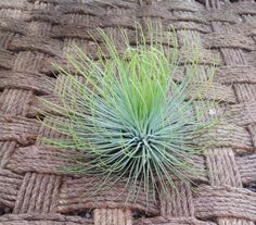 Airplant Andreana XL (Grown and Shipped From California) Garden in the City,http://www.amazon.com/dp/B00CCHNVQ4/ref=cm_sw_r_pi_dp_fMBxtb11EX6K1D86
