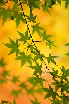 momiji(Japanese maple) pattern #Japan