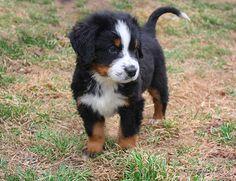 bernský salašnický pes - štěně