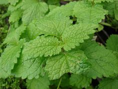 How to Grow and Use Lemon Balm (the princess of the herb world)