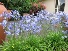 Once those spring blooms have blossomed, you'll be wishing you had planted one of these summer bulbs to keep those cheery and seasonal colors bursting all summer long. Anita C Carlson Managing Broker Van Dorm Realty, Inc Summer Bulbs, Bloom, Plants, Flowering Shrubs, Bulb Flowers, Spring Blooms, Live Plants, Agapanthus, Shade Shrubs