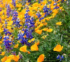 California poppies & purple lupine