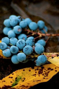 blue and yellow Seed Pods, World Of Color, Simple Pleasures, Fruit, Amazing Nature, Beautiful World, Mother Nature, Color Mixing, Blueberry