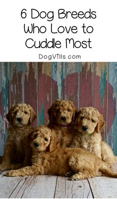 Looking for a pooch that just wants to snuggle with you? Check out which dog breeds enjoy cuddling the most!
