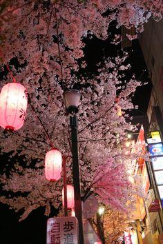 Pink sakura and pink lanterns
