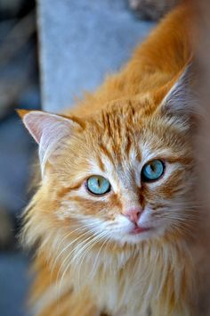Beautiful ginger cat with turquoise eyes. I have not seen this combo before so it may be Photoshoped.  But its certainly cute!  (by Artyviste)