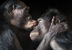 animal-photography-tim-flach-still-apes - Jennifer Redmond ccad-research Primates, Animals And Pets, Funny Animals, Cute Animals, Animals Kissing, Baby Animals, Exotic Animals, Jungle Animals, Wild Animals