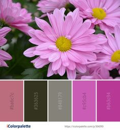 Color Palette Ideas from Flower Pink Flora Image iColorpalette Color Palette Ideas from Flower Pink Flora Image iColorpalette Lady Merlin Pantone Color Palette ideas icolorpalette colors inspiration nbsp hellip backgrounds aesthetic daisy Pantone Colour Palettes, Pantone Color, Colour Schemes, Color Combinations, Find Color, Flower Images, Colorful Eyeshadow, Color Swatches, Color Theory