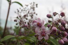 DEUTZIA 'Mont Rose' Rose, Plants, Pink, Roses, Plant, Planting, Planets
