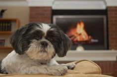 Shih Tzu breed is known to having a sensitive stomach towards certain dog foods that they eat.Opt for a grain free best dog food for Shih Tzu Chien Shih Tzu, Shih Tzu Hund, Shih Tzu Puppy, Shih Tzu Breeders, Shih Tzu Rescue, Shih Tzus, Best Dog Food, Best Dogs, Nomes Para Shih Tzu