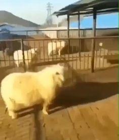 Funny Animal Jokes, Funny Animal Videos, Cute Funny Animals, Funny Animal Pictures, Animal Memes, Cute Baby Animals, Animals And Pets, Haha Funny, Funny Cute