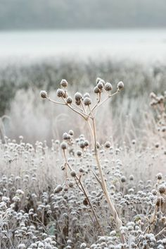 Button snakeroot, or Eryngium yuccifolium, in a planting by Piet Oudolf, Somerset