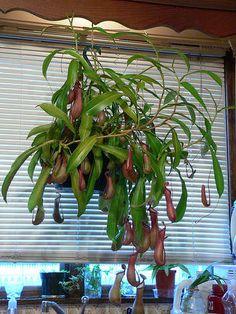 Pitcher Plant Potting Bog Garden, Indoor Garden, Indoor Plants, Garden Gates, Pitcher Plant Care, Bog Plants, Savage Garden, Inside Plants, Plants That Eat Bugs