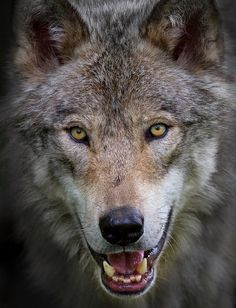 Wild Wolf - The Nature Conservancy  (FB)