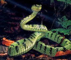 O Livro da Natureza: Cobras, os ofídios coloridos