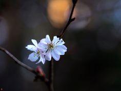 FROM THE GARDEN OF ZEN: Jyugatsu-sakura (Prunus × subhirtella cv. Autumnal...