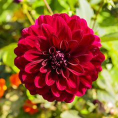 A Red Dahlia (Dahlia pinnata) in the Kitchen Gardens at Chatsworth House in the Peak District National Park  #beautiful #britain #british #chatsworth #dahlia #district #england #english #flower #gardens #green #house #kingdom #kitchen #national #nature #outdoors #park #peak #pinnata #plant #red #uk #united