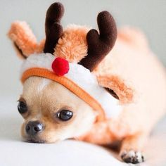 Once again, Pico was chosen to play Rudolph in the school play.  He's the only one that can fit into the costume.  ~~ Houston Foodlovers