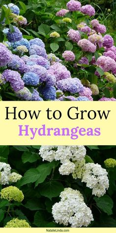 How To Grow Hydrangeas in Your Garden Plant hydrangeas in your garden for large clusters of white, blue, or pink blooms! This low-maintenance perennial is a stunner and easy to grow! Hydrangea Bloom, Hydrangea Care, Hydrangea Not Blooming, Care Of Hydrangeas, When To Plant Hydrangeas, White Hydrangea Garden, Hydrangea Plant, Tall Flowers, Growing Flowers