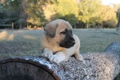 Litter of 9 Anatolian Shepherd puppies for sale in SEARCY, AR. ADN-49536 on PuppyFinder.com Gender: Male. Age: 6 Weeks Old