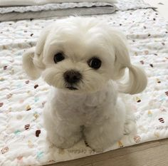 Things that make you go AWW! Like puppies, bunnies, babies, and so on. A place for really cute pictures and videos! Baby Animals Pictures, Funny Animal Pictures, Dog Pictures, Cute Funny Animals, Cute Baby Animals, Animals And Pets, Mini Malteser, Perro Shih Tzu, Maltese Dogs